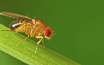 Fruit Flies Spring Into Action