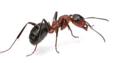 Top 10 Ways to Reduce Your Risk of Ants