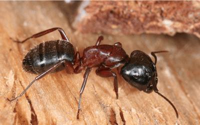 Carpenter Ants Galore!